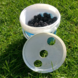 plastic pot of blackberries showing lid with 3 holes in lid