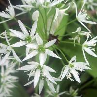 close up wild garlic flower head