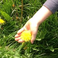 child's hand holding dandelion