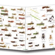 Field Guide - British Grasshoppers & Allied Insects