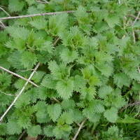 Young Nettles March20x20