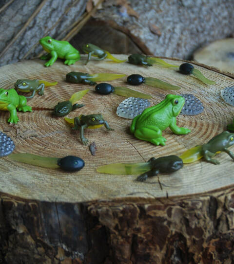 Life Cycle of a Frog Set